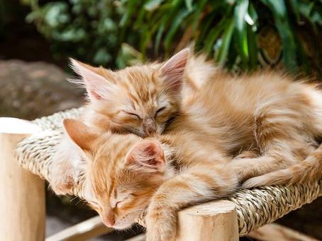Deux chats chez soi. Bonne ou mauvaise idée ?