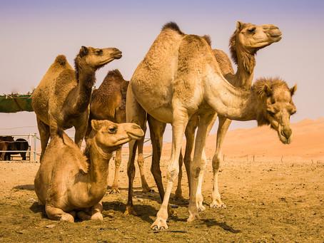 Camel's Milk for Dairy Allergy