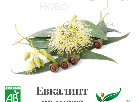 Какво знаем за евкалипт радиата, eucalyptus radiata?