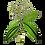 Thumbnail: ALTHO - Етерично масло от САРО/МАНДРАВАСАРОТРА/ БИО 10 ml - Cinnamosma fragans