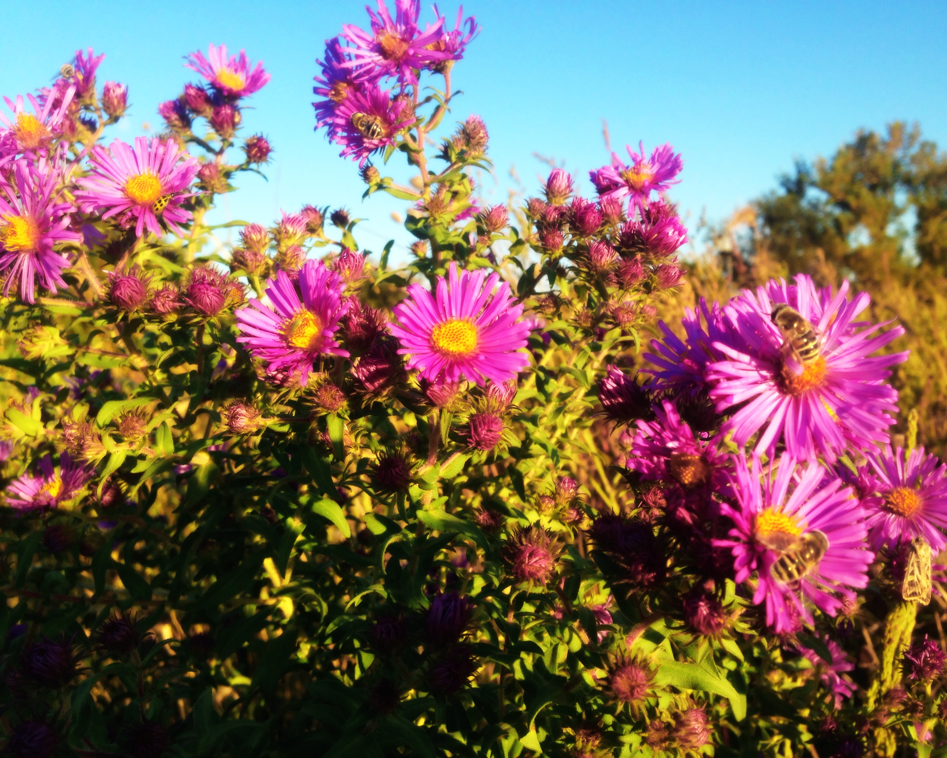 New England Aster in the wildflowers