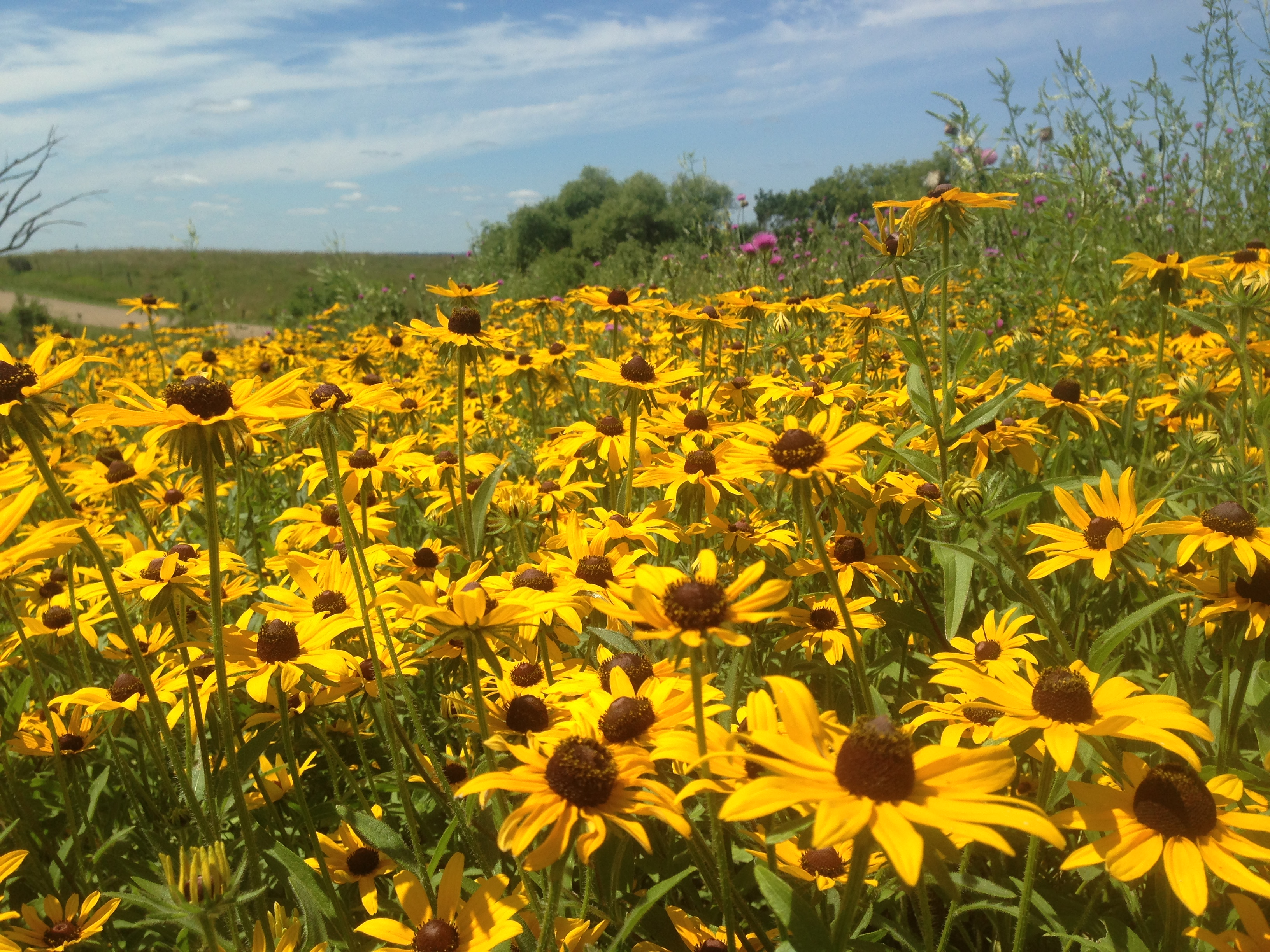 Black Eyed Susans in the wildflowers