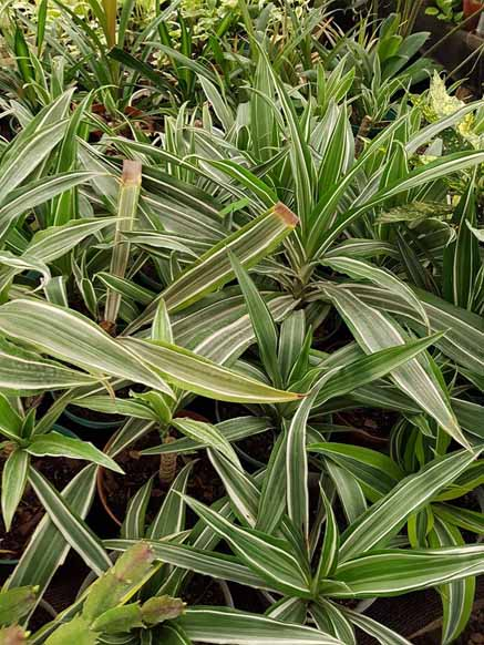 Dracena Warnecki