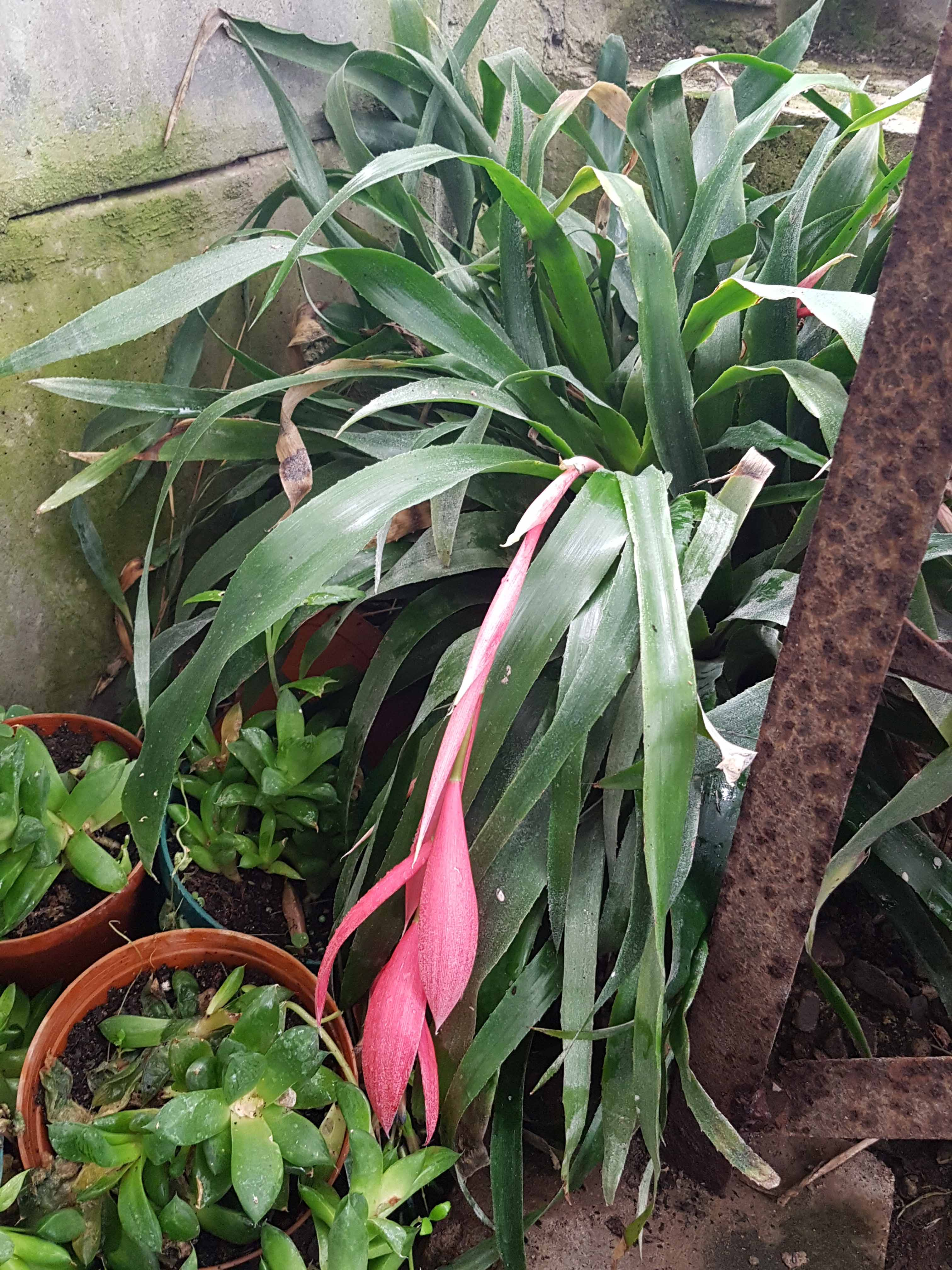 Bilbergia, bromelia