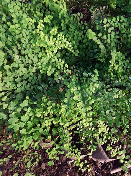 Adiantum Capilera (Helecho)