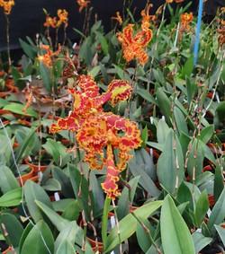 Oncidium Mariposa