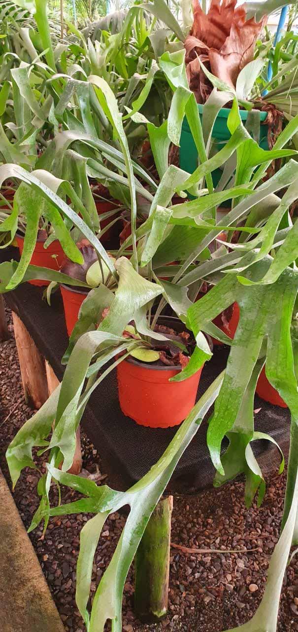 Platycerium bifurcatum alcicorne