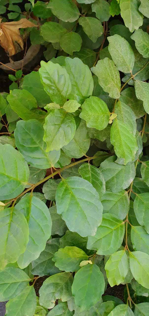 Cissus Peruvianis