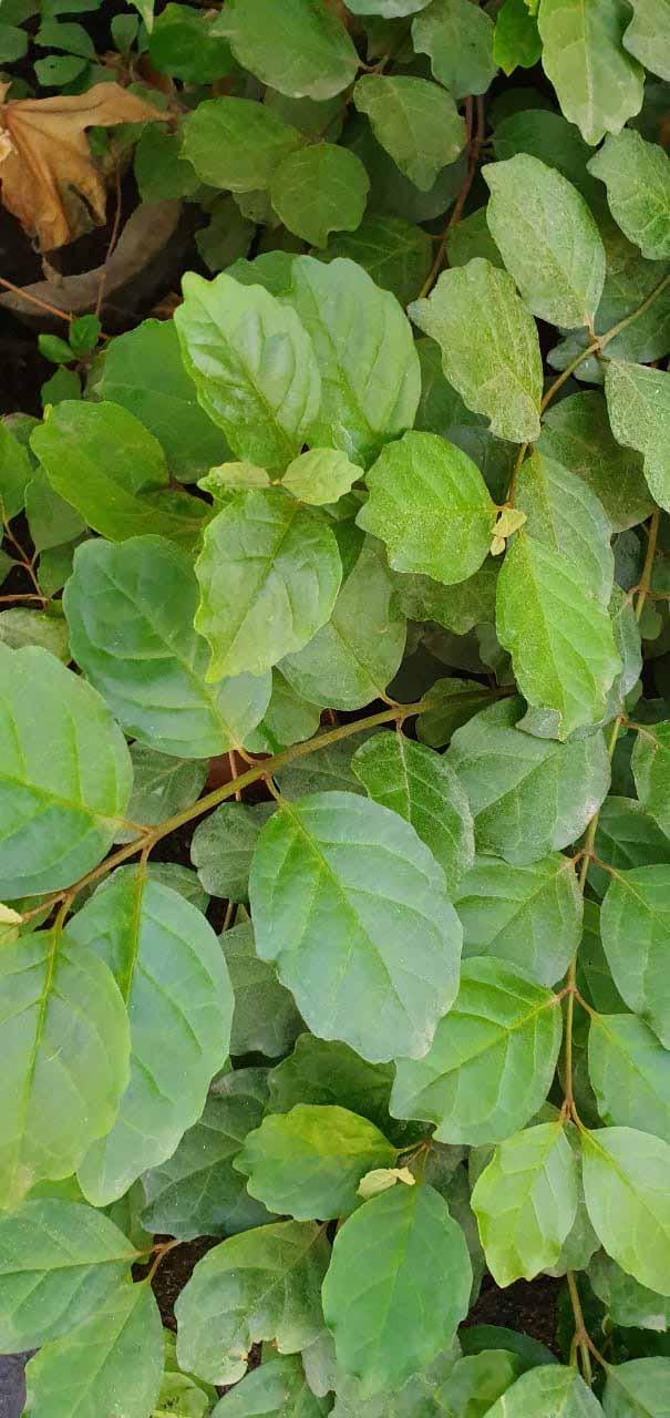 Cissus Peruvianis