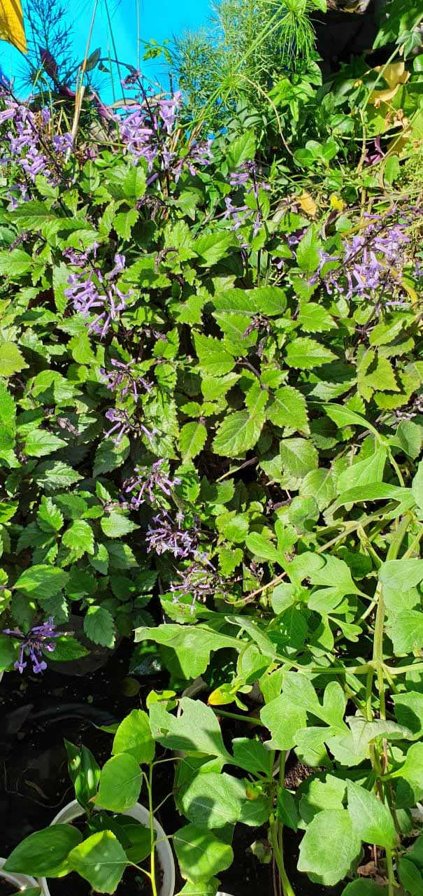 Plectranthus Mona Lavanda