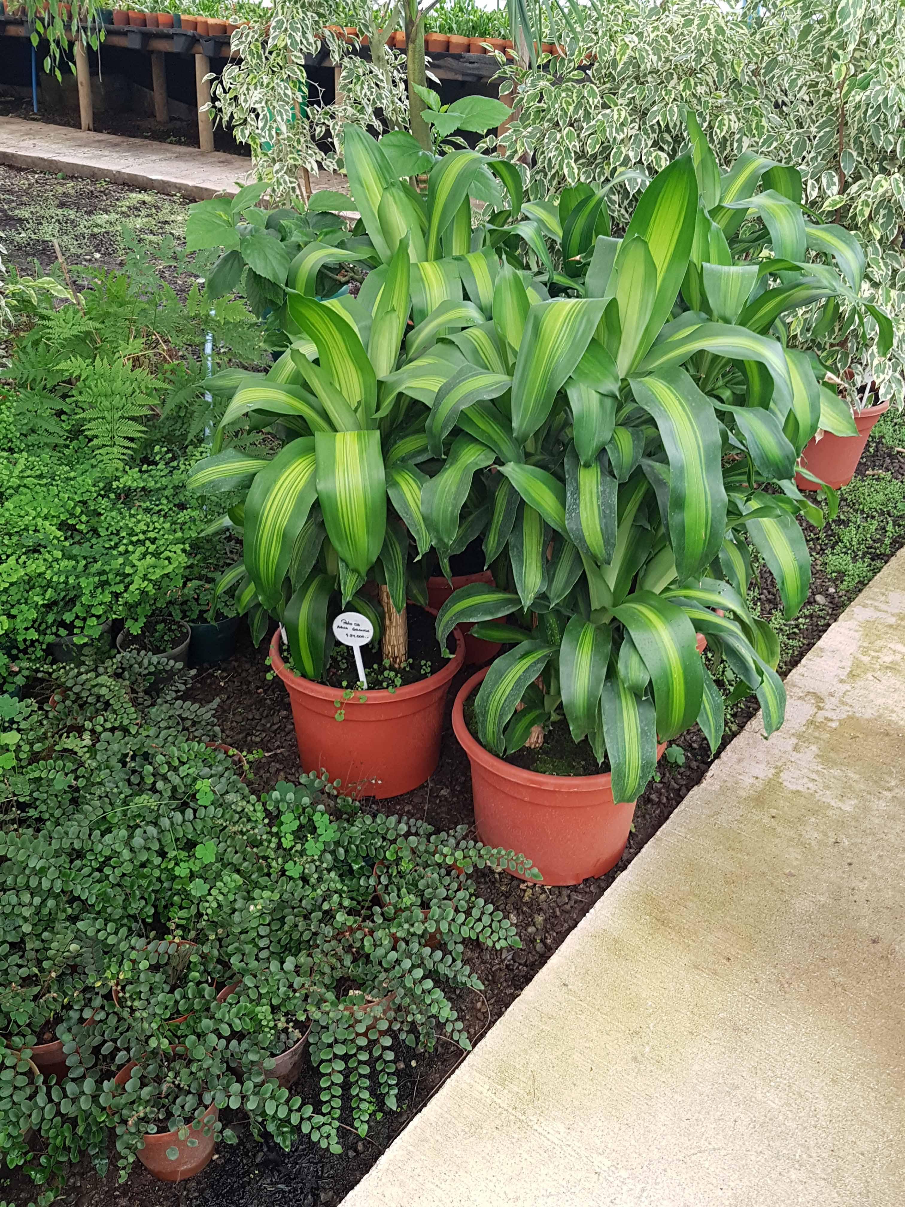 Palo de Agua, Dracena Fragans variegata