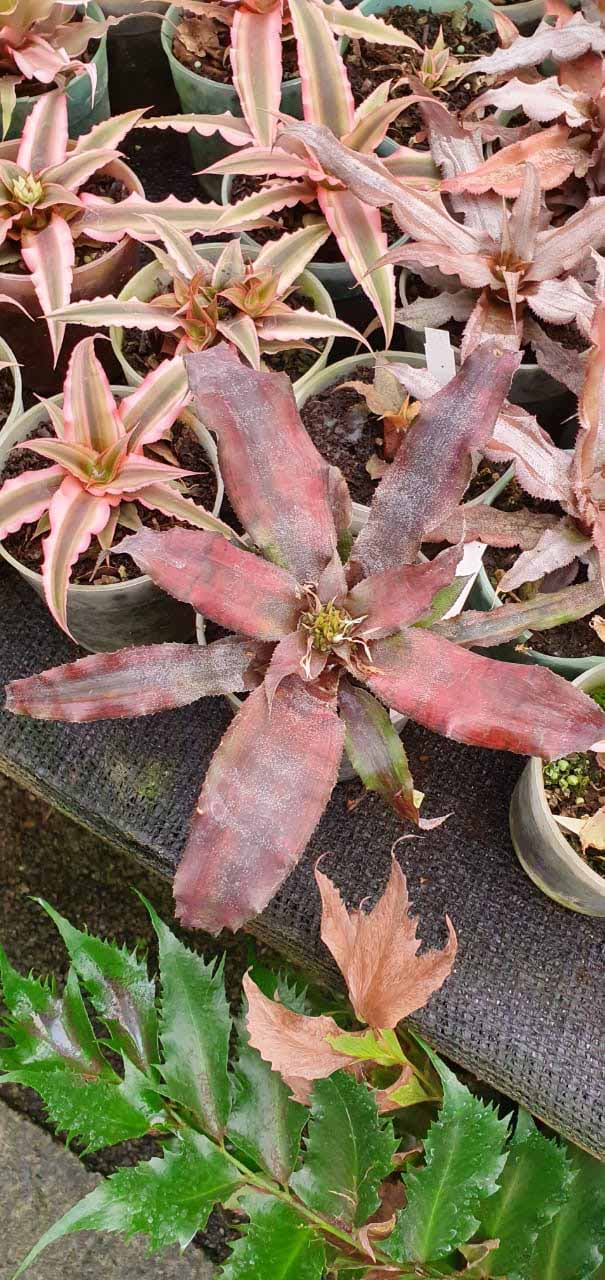 Cryptanthus