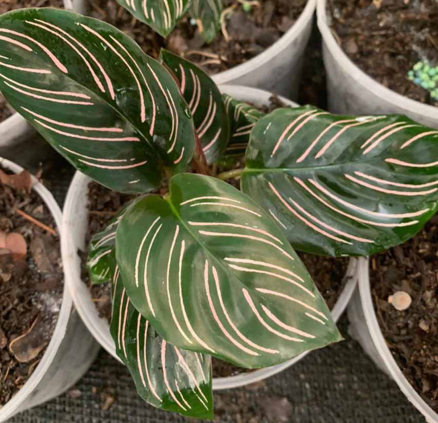 Calathea Ornata