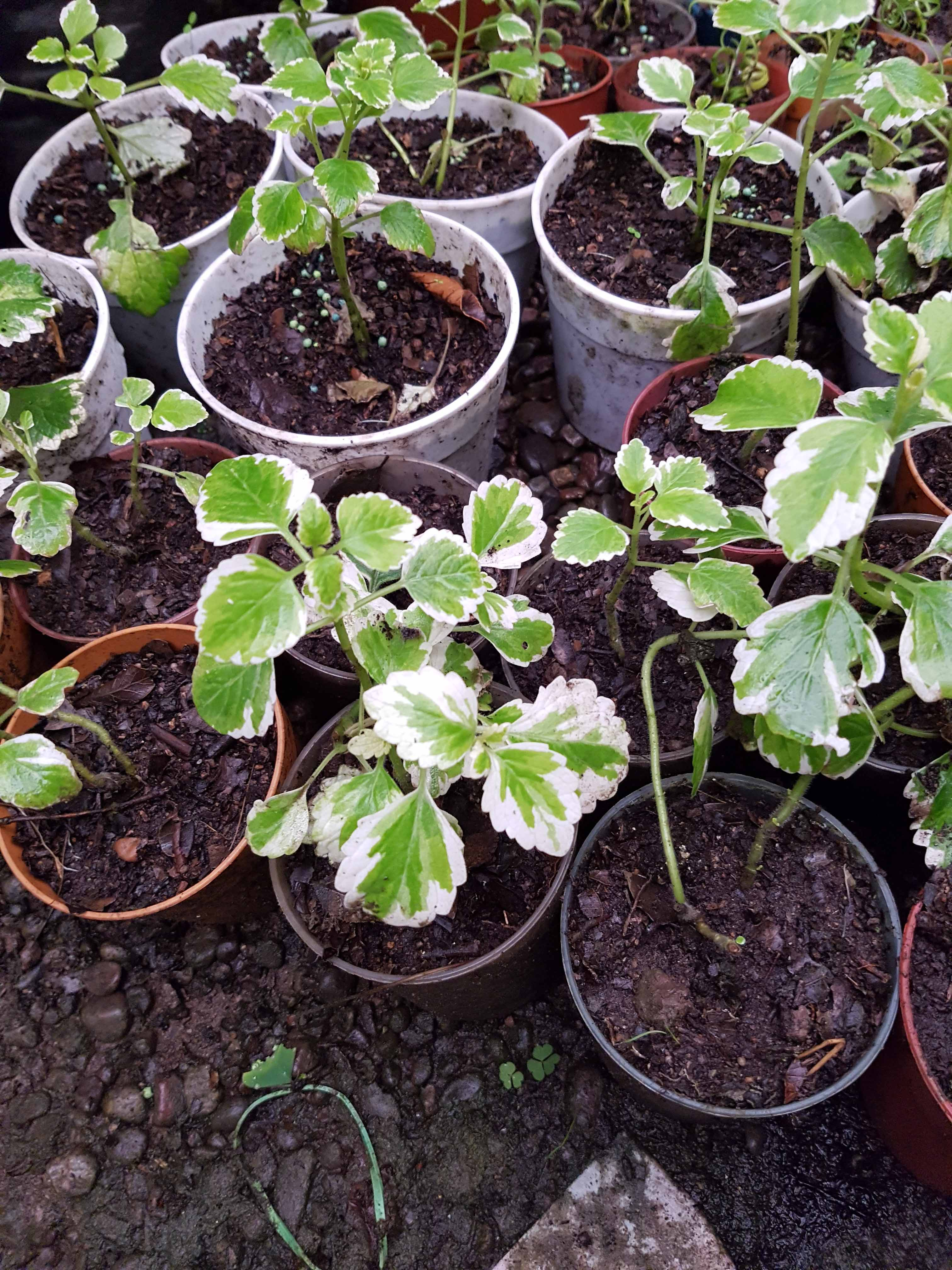 Plectranthus Variegado Incienso