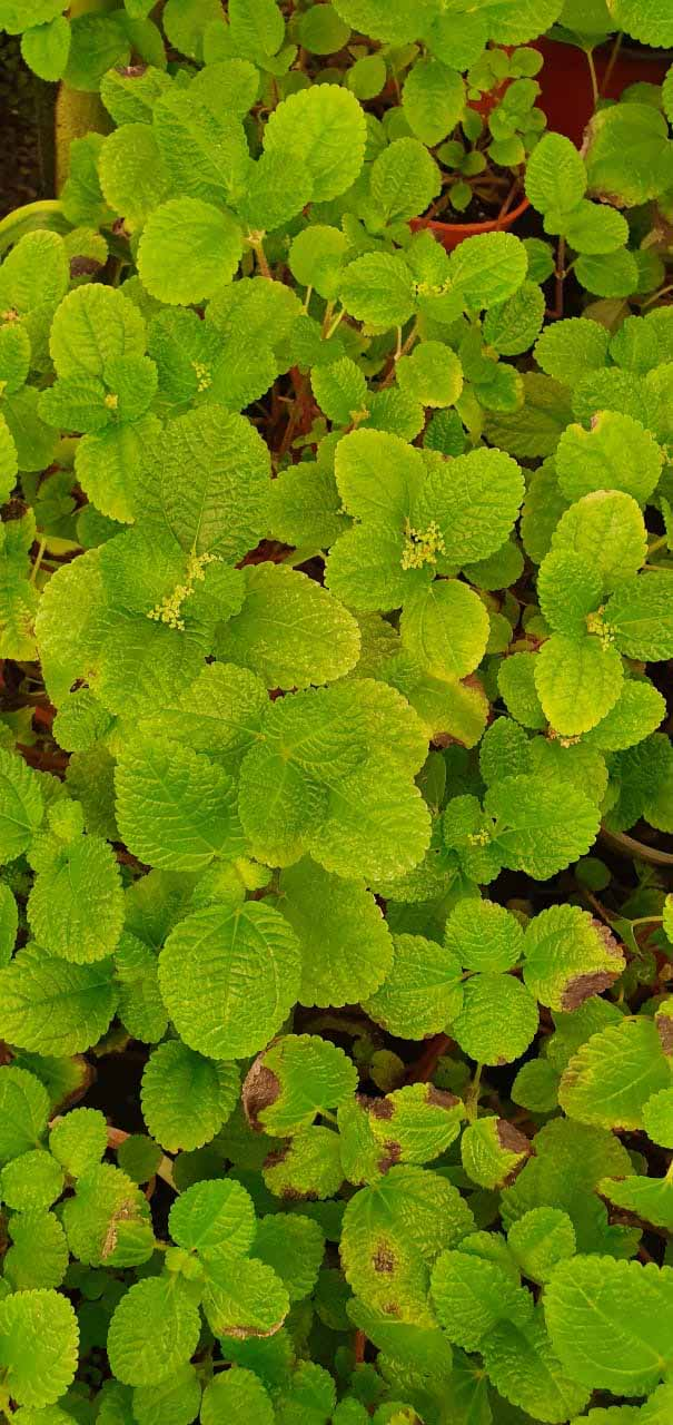 Plectranthus