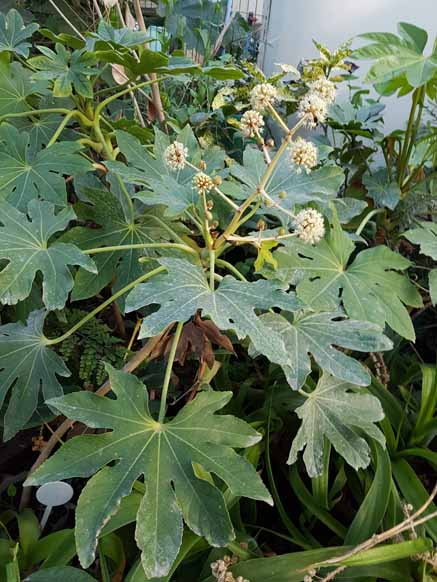 Aralia (Fatsia) Japonica