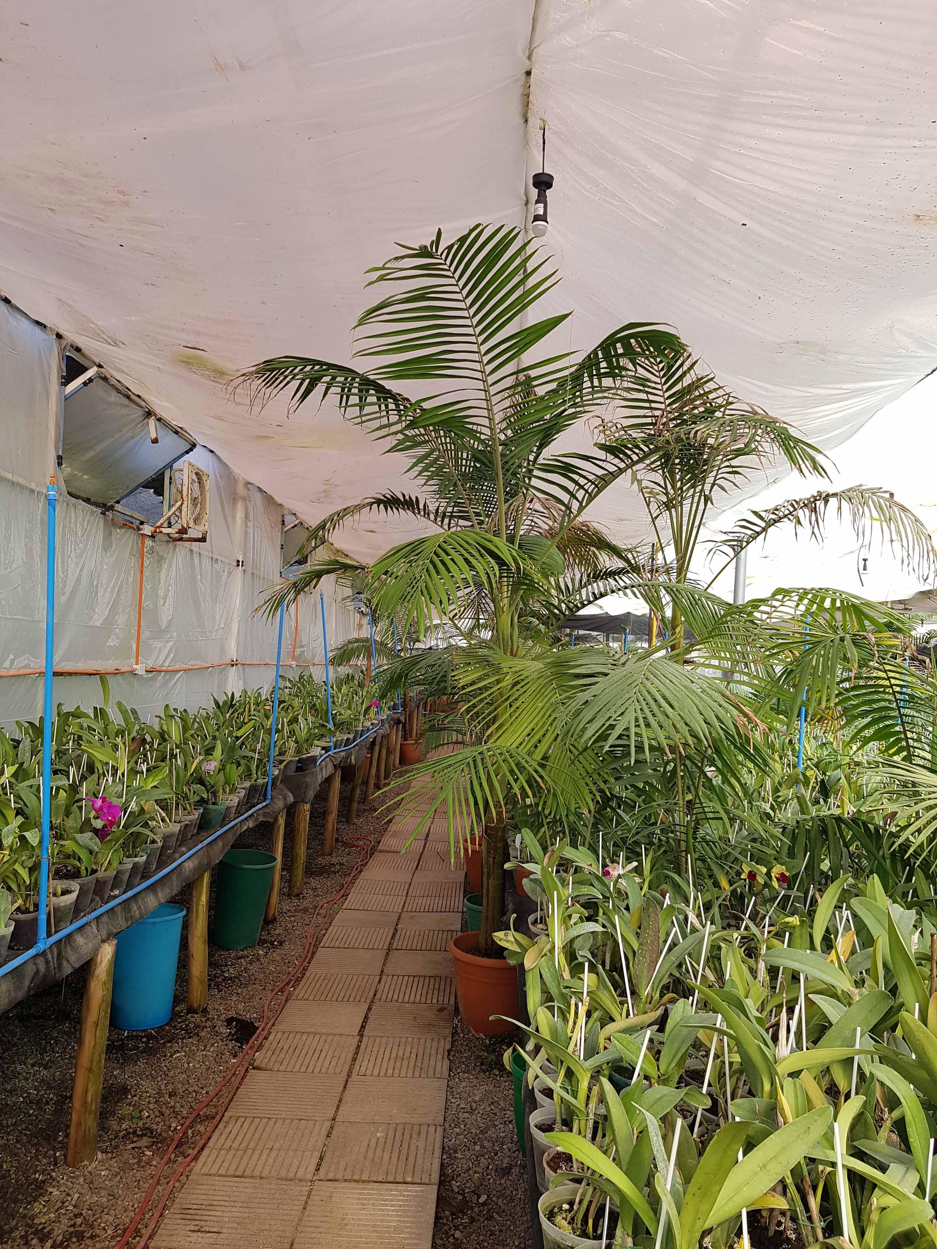 Kentia Forsteriana