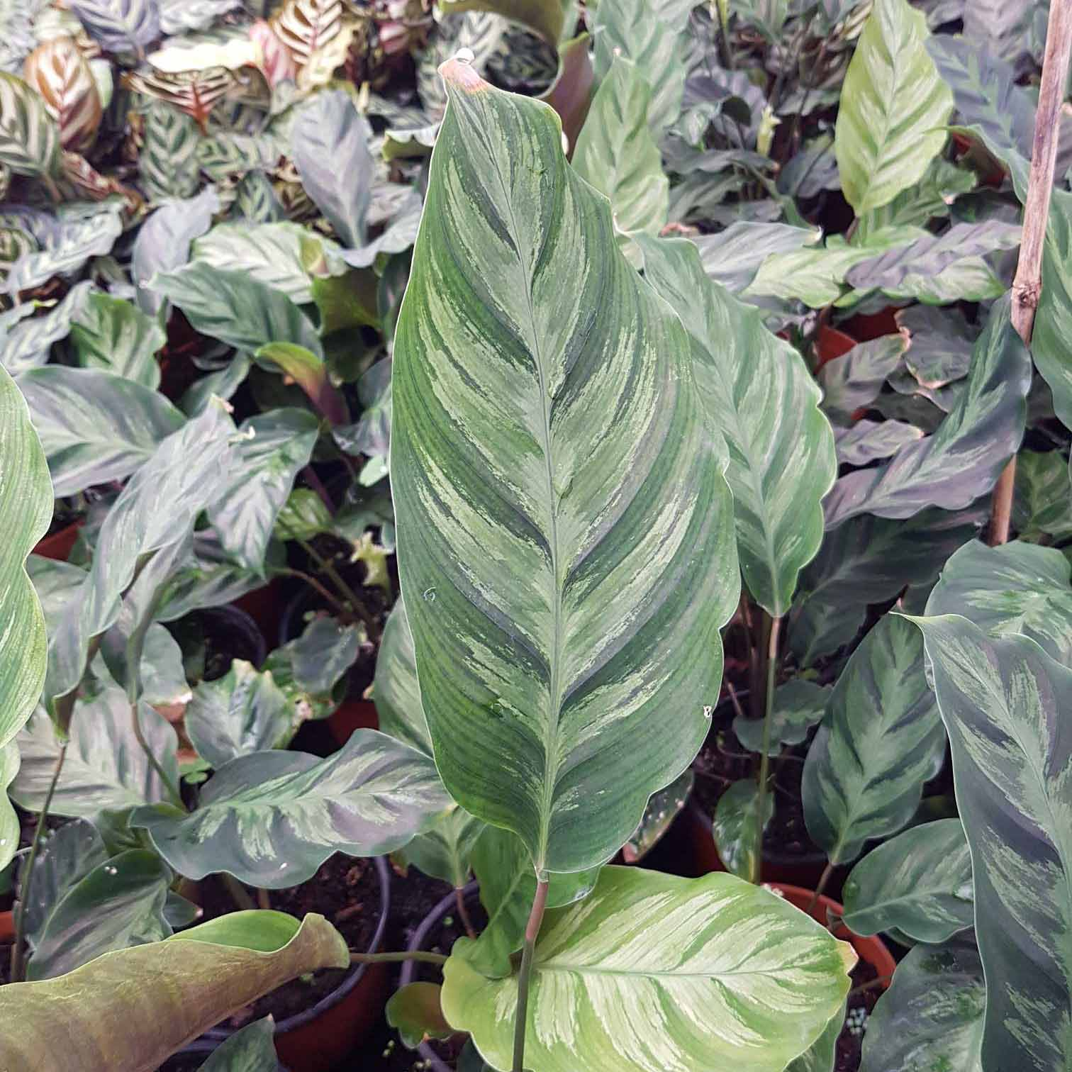 Calathea de Mixto