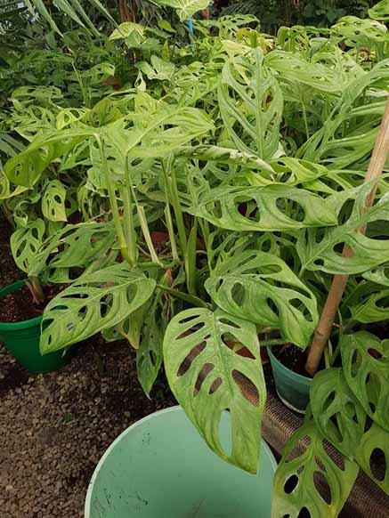 Philodendron Oblicuaspilata