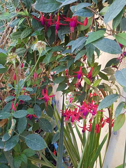 Fuchsia Magellanica