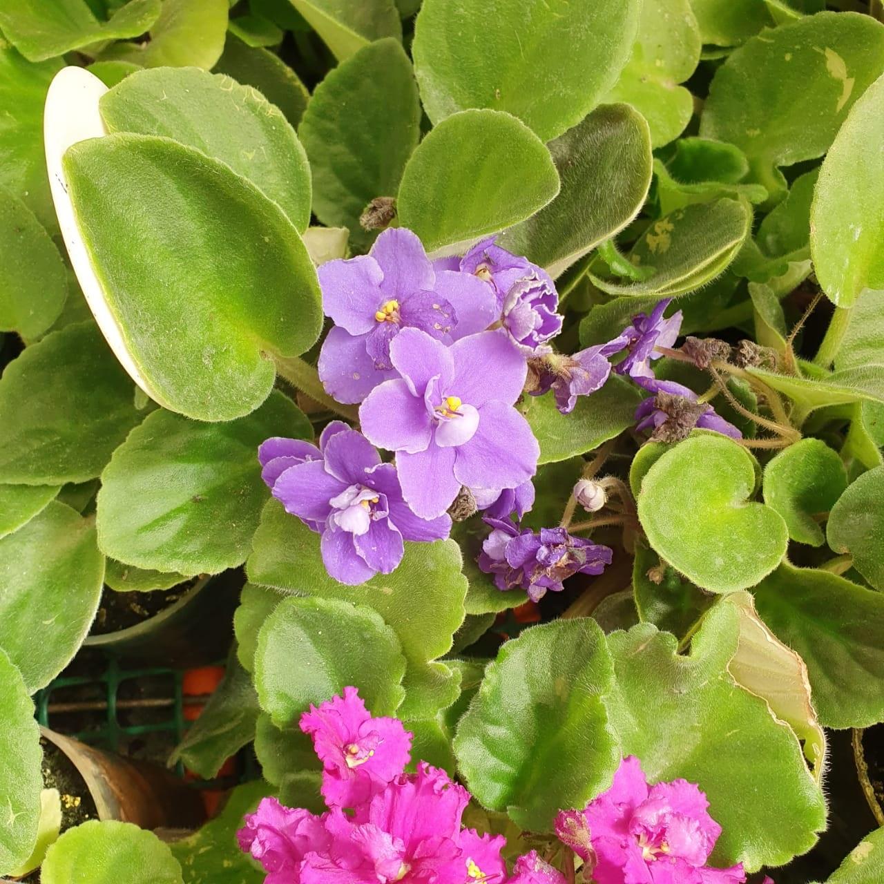 Violeta Africana