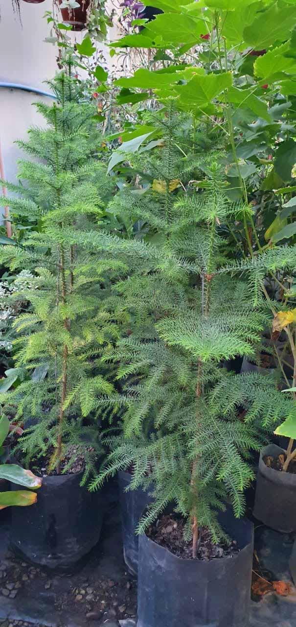 Araucaria Excelsa o Heterophylla_0