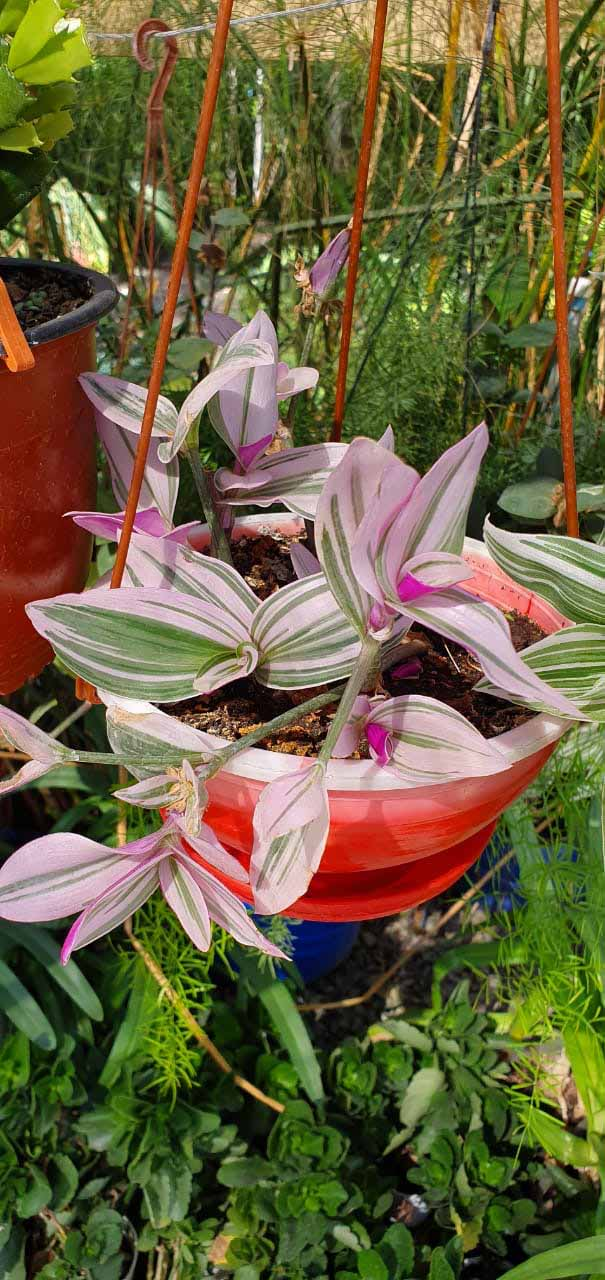 Tradescantia wandering pink princess