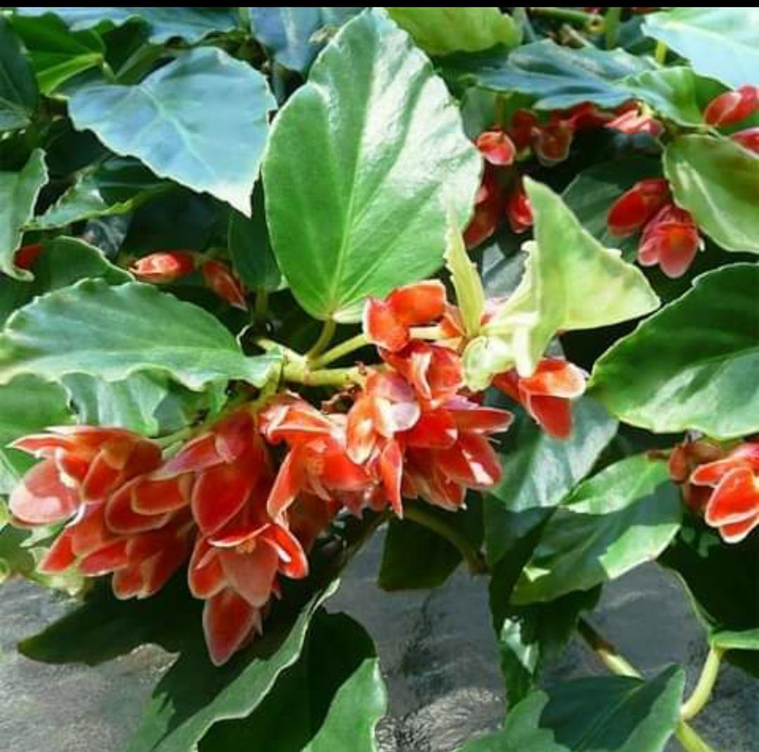 Begonia Radicans