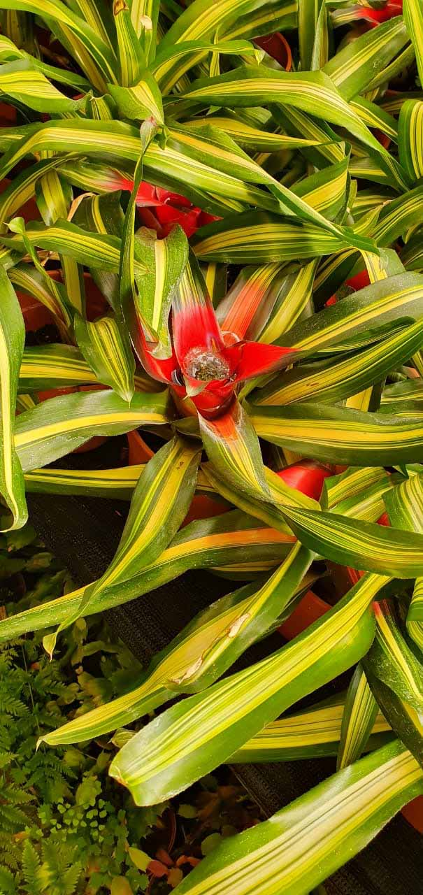 Bromelia