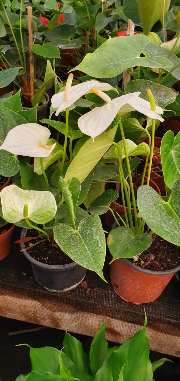 Anthurium Blanco