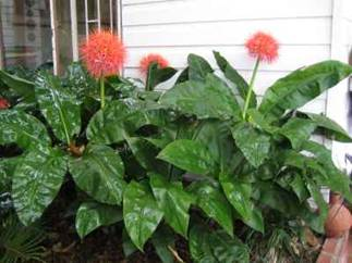 Haemanthus Multiflorus