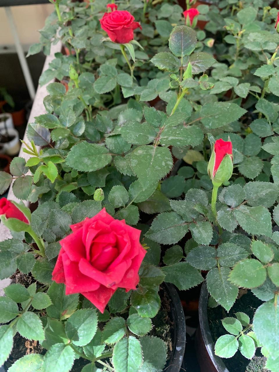 Rosa enana macetero chico