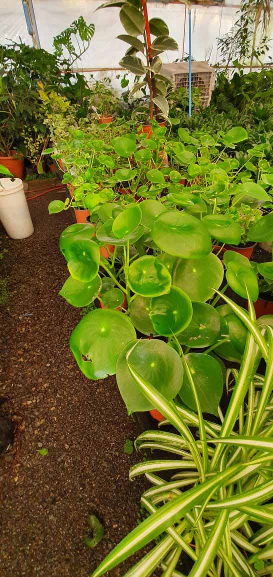 Pilea Peperomioides o cucharita