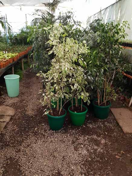 Ficus Benjamina