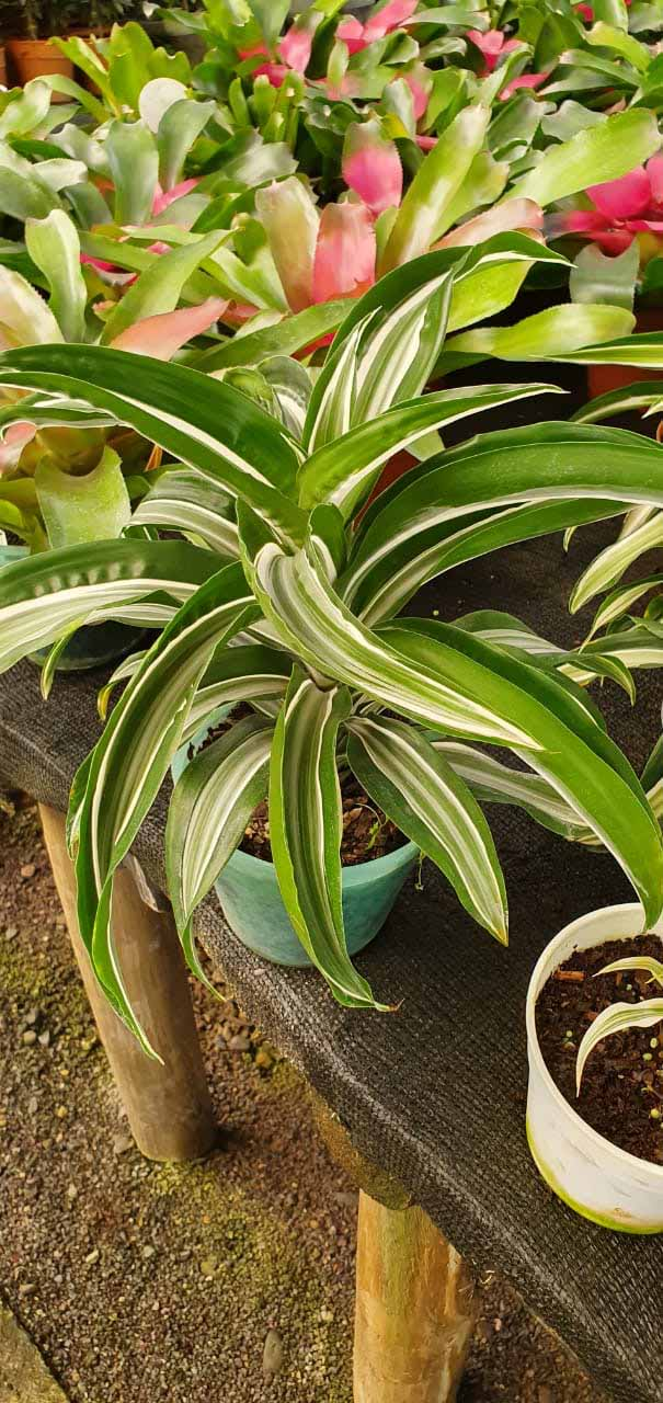 Dracena Malaika