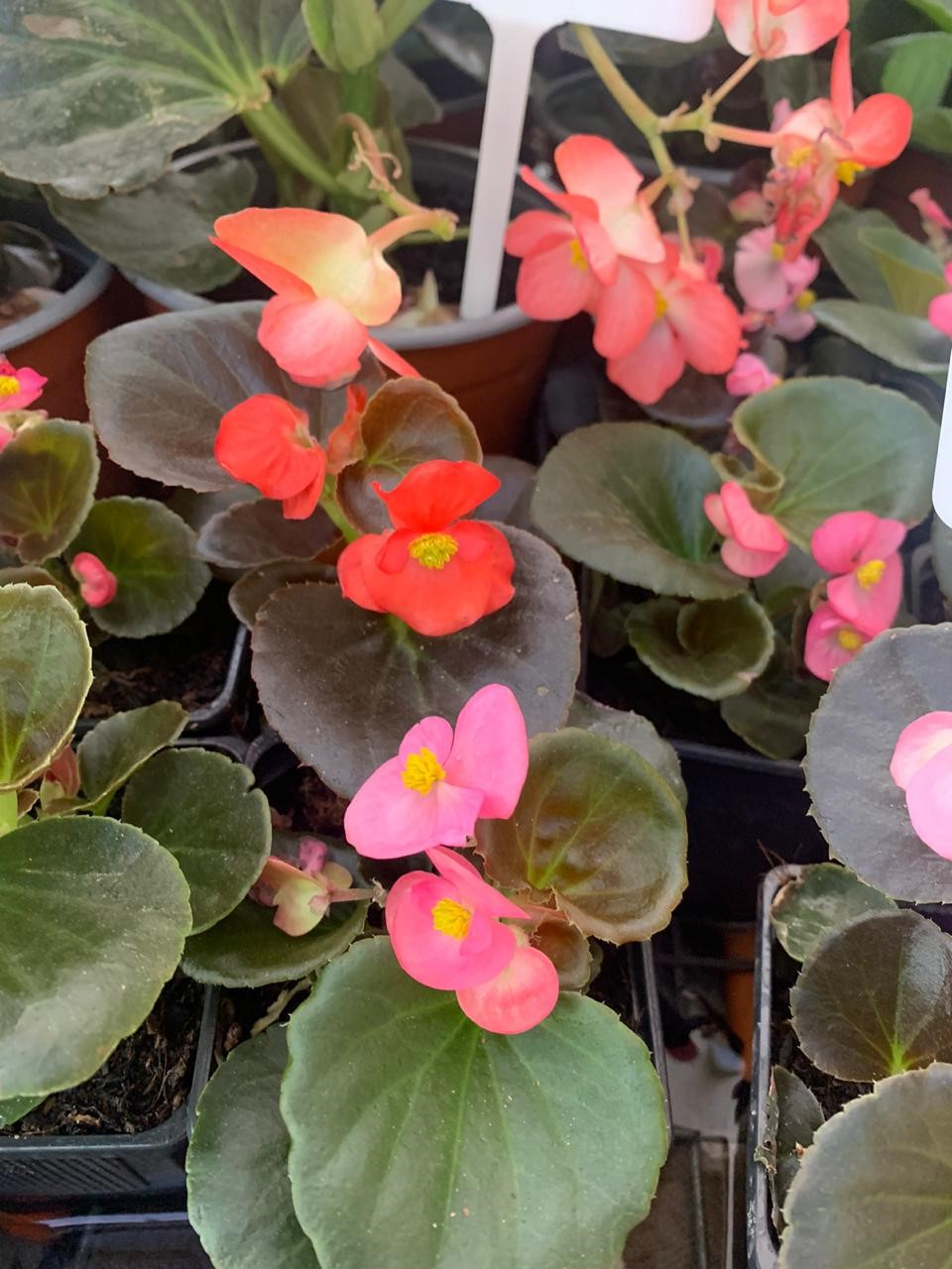 Begonia Porcelana enana