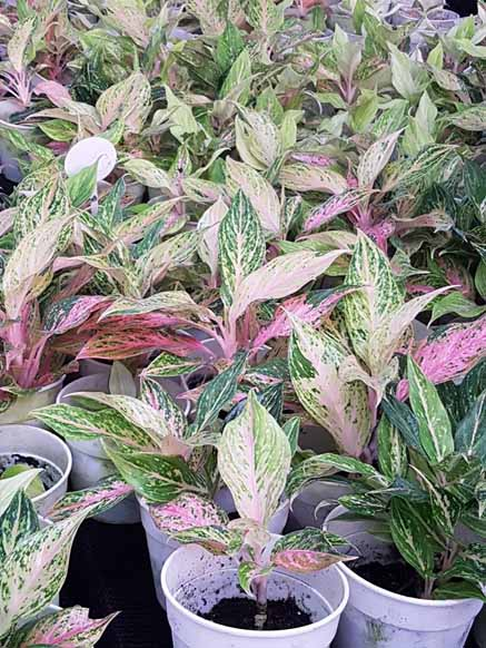 Aglaonema Rojo Jaspeado