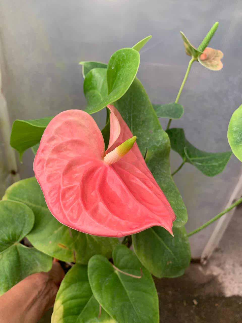 Anthurium Andreanum rosado