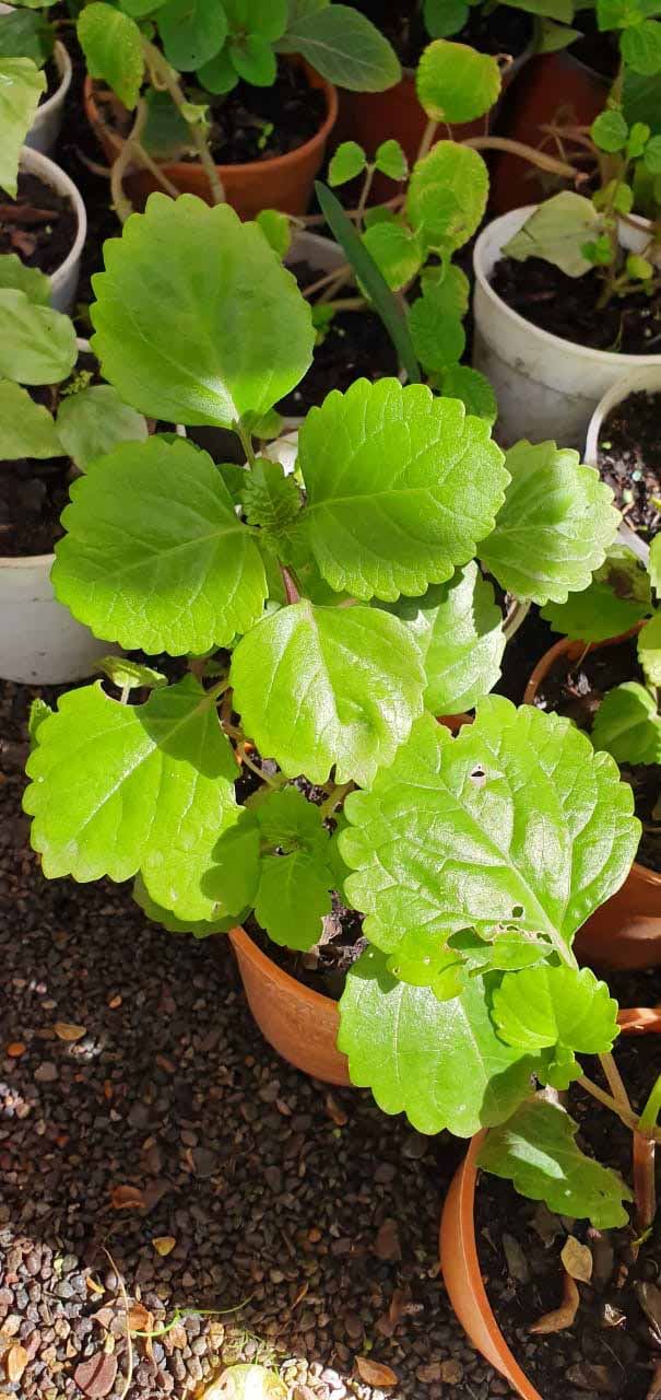 Plectranthus Dólar Verde