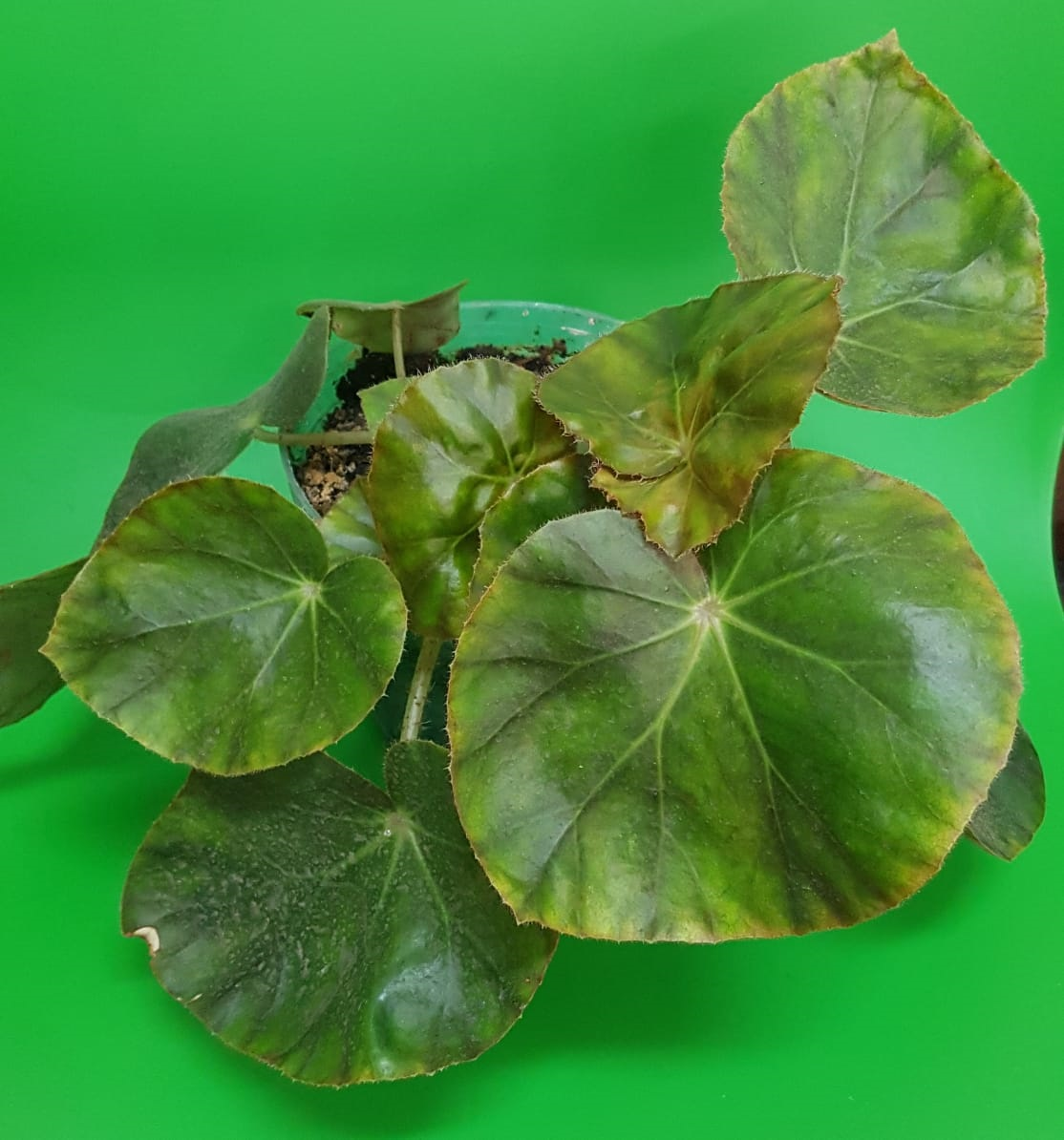Begonia Erytrophylla