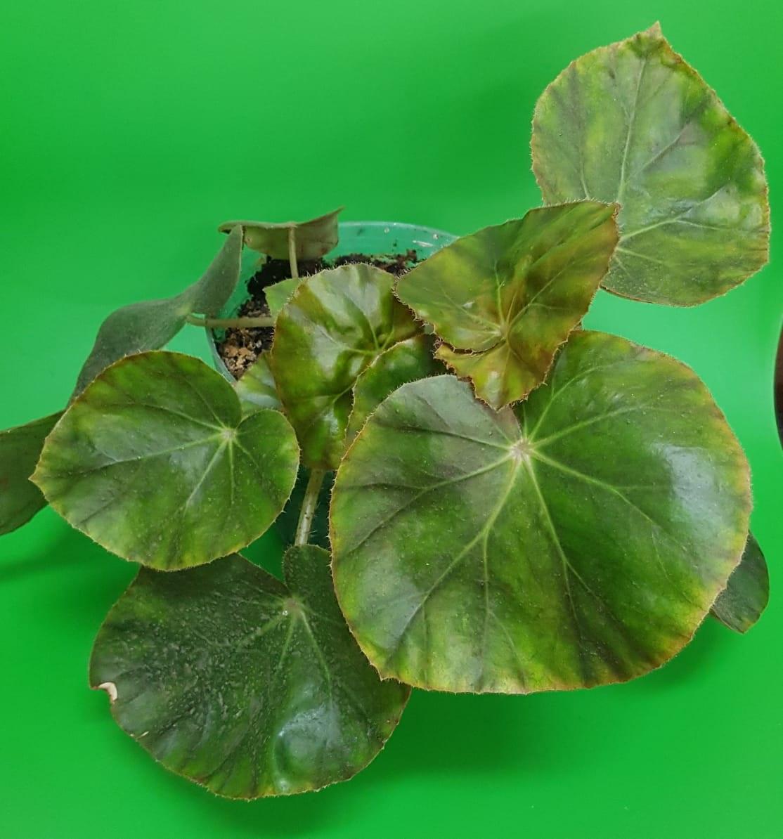 Begonia Erytrophylla