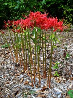 Lycoris Radiata