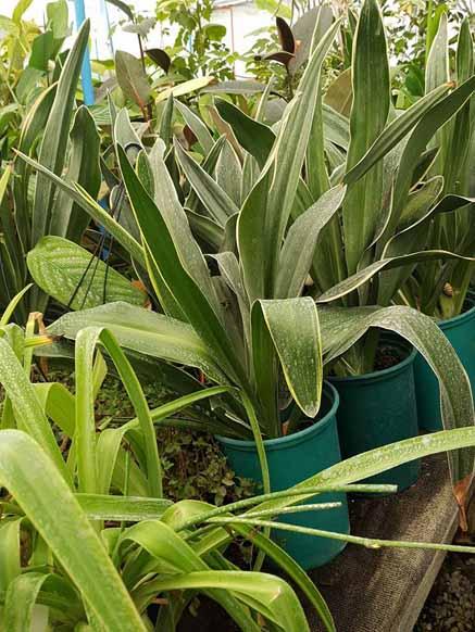 Oronthium Japonicum