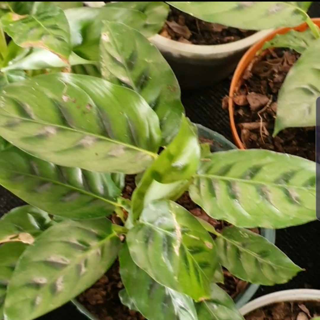 Calathea Leopardina