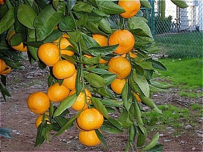 Tree-ripened Sweetness