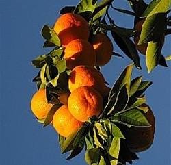 Sweet Juicy Mandarins