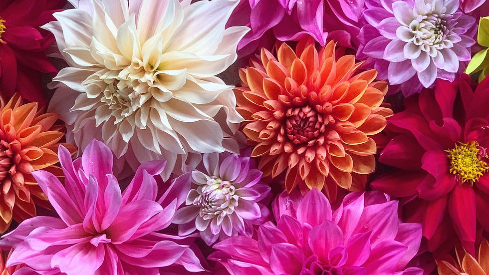 All About Dahlias - Sept 19 (2-4:30 pm)