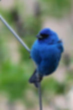 Dad appearing as a bluebird