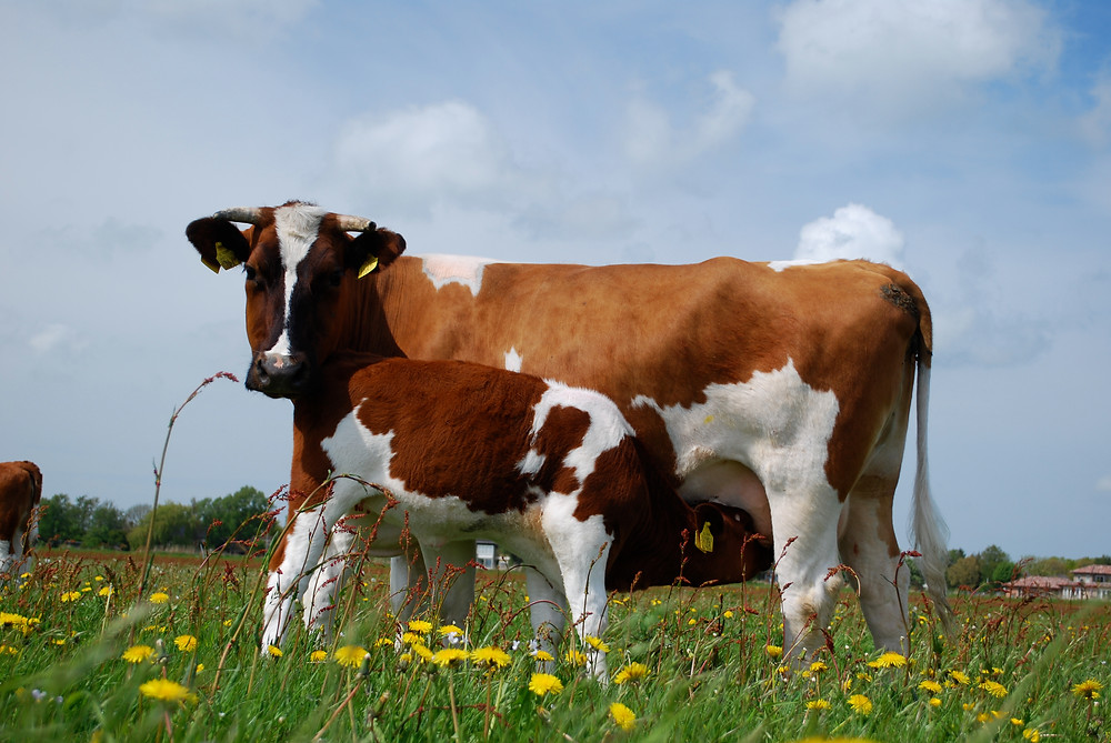 Friese Roodbont koe, een duurzame dubbeldoelkoe