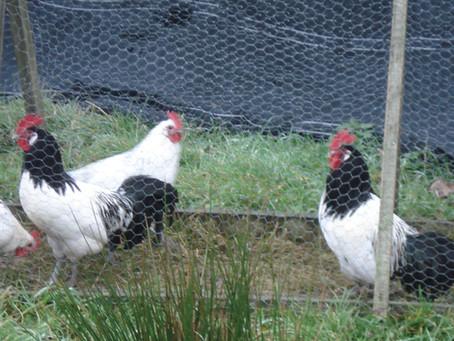 De smaak van de kip en het ei